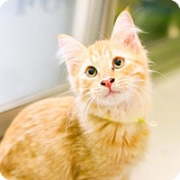 Domestic Shorthair Kitten for adoption in Austin, Texas - Latte