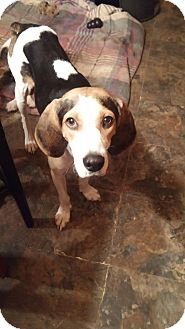 Coonhound Mix Dog for adoption in Rockford, Illinois - Leah