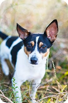Rat Terrier Mix Dog for adoption in Marietta, Georgia - Orion - Needs to be in a home!