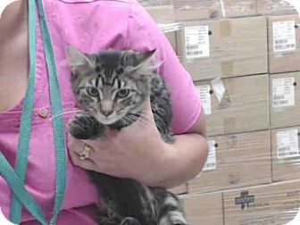 Domestic Mediumhair Cat for adoption in Tavares, Florida - KIT KAT