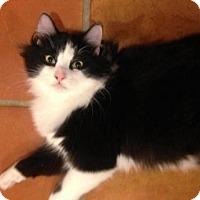 Adopt A Pet :: Brando - Thornhill, ON