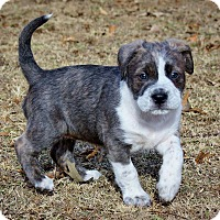Adopt A Pet :: DELTA - Nashville, TN