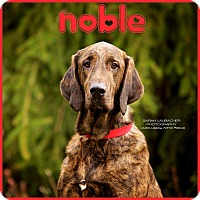 Adopt A Pet :: Noble $14 - Cincinnati, OH