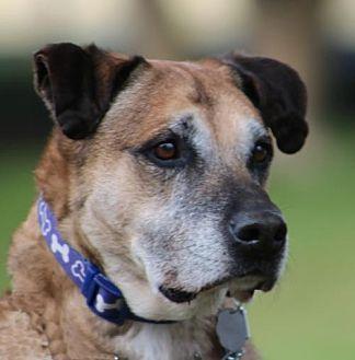 German Shepherd Dog Mix Dog for adoption in San Diego, California - Gus