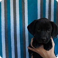 Adopt A Pet :: Daphine - Oviedo, FL