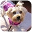 Photo 2 - Yorkie, Yorkshire Terrier/Maltese Mix Dog for adoption in West Palm Beach, Florida - Cleo