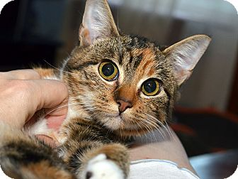 American Shorthair Kitten for adoption in Brooklyn, New York - Carmela