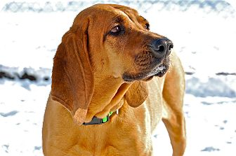 Coonhound Mix Dog for adoption in Meridian, Idaho - Sammy