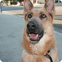 Adopt A Pet :: Foxy - Canoga Park, CA