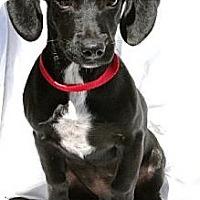 Adopt A Pet :: Babu - Gilbert, AZ