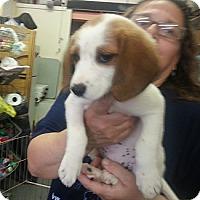 Adopt A Pet :: Snuggles - Philadelphia, PA