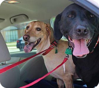 Basset Hound Dog for adoption in Charleston, South Carolina - Chloe & Cora