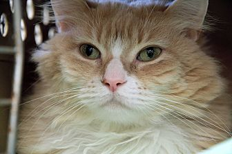 Maine Coon Cat for adoption in St. Louis, Missouri - Sunshine