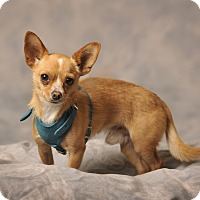 Chihuahua Mix Dog for adoption in Aqua Dulce, California - Tate