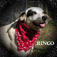 Adopt A Pet :: Ringo - Columbia, TN