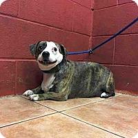 Adopt A Pet :: Aguila - Beverly Hills, CA