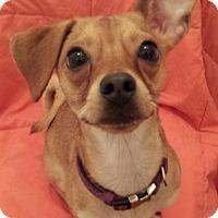 Adopt A Pet :: Lemmy - Encino, CA