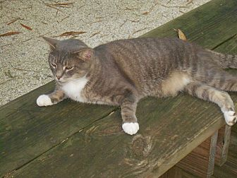 Domestic Shorthair Cat for adoption in Naples, Florida - Treckie