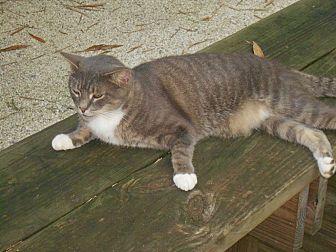 Domestic Shorthair Cat for adoption in Bonita Springs, Florida - Treckie