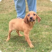 Adopt A Pet :: Clover (POM DC) - Allentown, PA