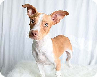 Chihuahua/Dachshund Mix Dog for adoption in Wilmington, Delaware - Tonka