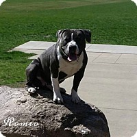 American Pit Bull Terrier/English Bulldog Mix Dog for adoption in Des Moines, Iowa - Romeo
