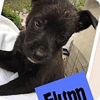 Adopt A Pet :: Flynn - Austin, TX
