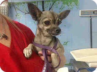 Chihuahua Mix Dog for adoption in San Bernardino, California - URGENT ON 10/14 San Bernardino