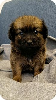 Pekingese Mix Puppy for adoption in Fresno, California - McBlanche