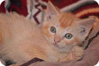 Domestic Shorthair Kitten for adoption in Williamston, Michigan - Aj Litter - Hayden
