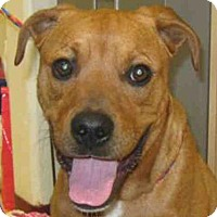 Pit Bull Terrier Mix Dog for adoption in Missoula, Montana - COLBY