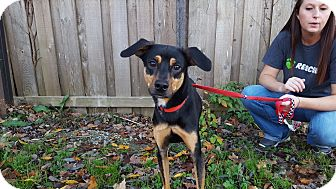 Black and Tan Coonhound Mix Dog for adoption in St John, Indiana - Judah