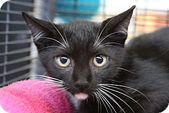 Domestic Shorthair Kitten for adoption in Sarasota, Florida - Merlin
