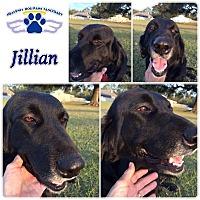 Flat-Coated Retriever Mix Dog for adoption in Folsom, Louisiana - Jillian