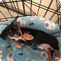 Adopt A Pet :: McGee - Las Vegas, NV