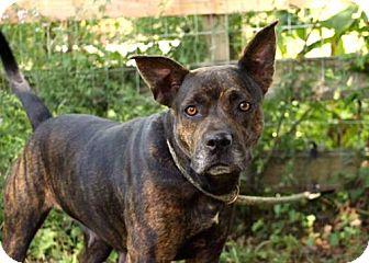 Catahoula Leopard Dog/Australian Cattle Dog Mix Dog for adoption in Norfolk, Virginia - BRINDY
