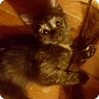 Adopt A Pet :: Laura (Little House on the Prairie) - Baltimore, MD