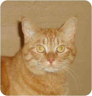 Domestic Shorthair Cat for adoption in Elmira, Ontario - Tabitha