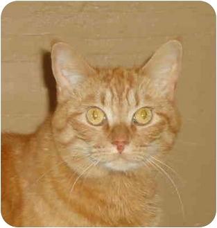 Domestic Shorthair Cat for adoption in Elmira, Ontario - Tabitha
