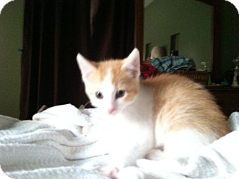 Domestic Shorthair Kitten for adoption in Omaha, Nebraska - Julius