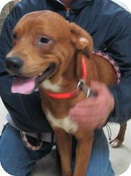 Labrador Retriever/Boxer Mix Dog for adoption in Chicago, Illinois - Copper (ADOPTED)