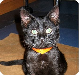 Domestic Shorthair Kitten for adoption in Brooklyn, New York - Beans