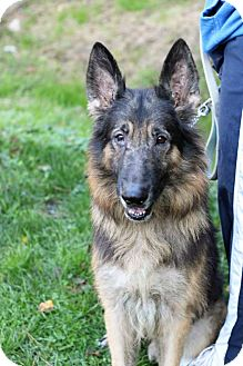 German Shepherd Dog Dog for adoption in Tinton Falls, New Jersey - Sarge