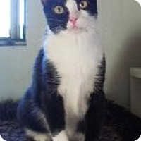 Domestic Shorthair Cat for adoption in Mission Viejo, California - Stop Sign