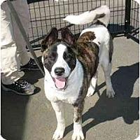 Adopt A Pet :: Nikita - Hayward, CA