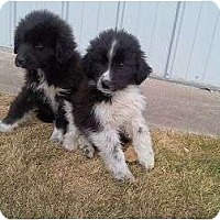 Adopt A Pet :: Aussie/Collies - Alliance, NE