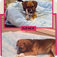 Adopt A Pet :: Grace-pending adoption - Manchester, CT