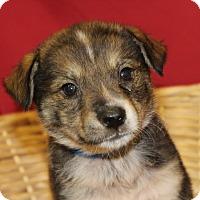 Adopt A Pet :: Sheppy - Waldorf, MD