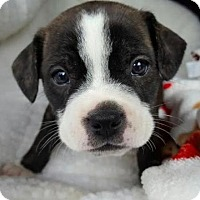 Adopt A Pet :: Meyer - Manhattan, NY