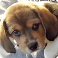 Adopt A Pet :: rika - Germantown, MD